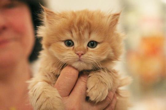 Le chaton persan lilice et ses chatons - Image de petit chat ...